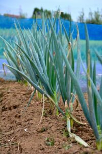 ネギ 栽培 方法, ネギ 栽培 方法 水耕